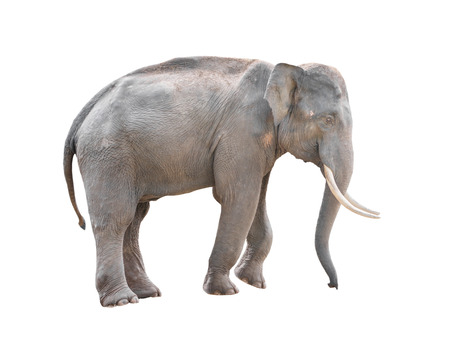 male asia elephant isolated on white background Archivio Fotografico