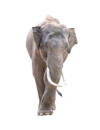 mannelijke asia olifant op een witte achtergrond Stockfoto