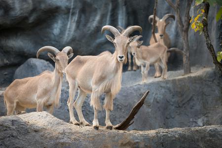ovejas bebes: Ovejas de Berbería (Ammotragus lervia) de pie sobre la roca