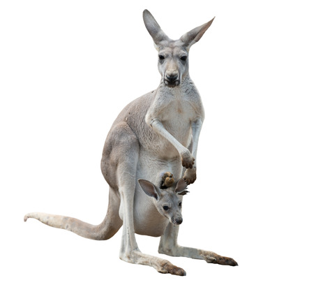 isolated  on white: female gray kangaroo with joey in pouch isolated