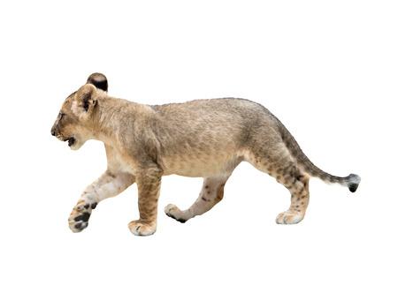 panthera leo: baby lion isolated on white background Stock Photo