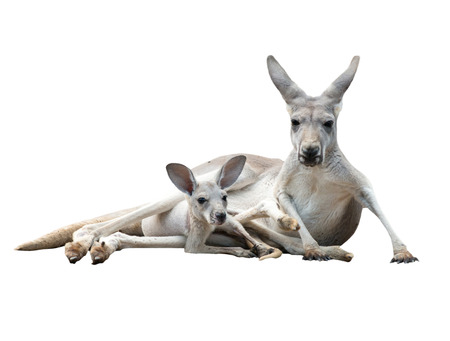 joey: female gray kangaroo with joey in pouch isolated