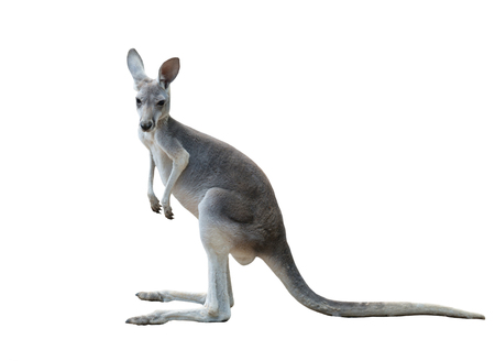 kangaroo mother: gray kangaroo isolated on white background