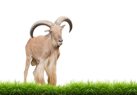 barbary: male barbary sheep isolated on white background