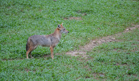 canis: Brown or Golden or Asiatic jackal ( Canis aureus )