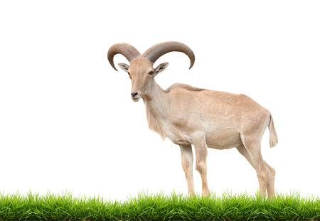 animal in the wild: female barbary sheep isolated on white background