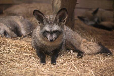 eared: bat eared fox resting on dried grass