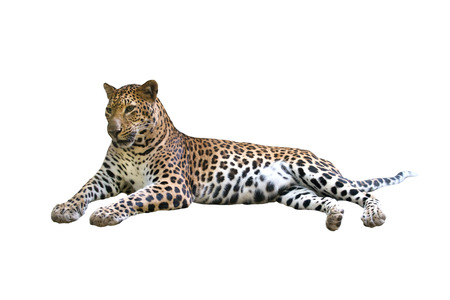 leopard ( Panthera pardus ) isolated on white background Stock Photo