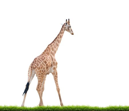 animal in the wild: giraffe with green grass isolated on white background