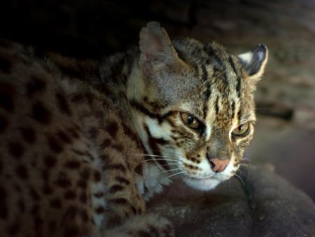 wild asia: Leopard cat scientific name Prionailuru bengalensis