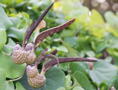 gaping: Aristolochia ringens Vahl or gaping dutchmans pipe flower Stock Photo