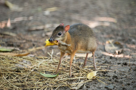 asia deer: lesser mouse deer scientific name Tragulus kanchil