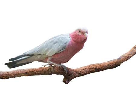 cockatoo: galah cockatoo scientific name (Cacatua roseicapilla) isolated on white background