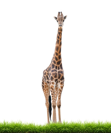 reticulated giraffe: giraffe with green grass isolated on white background