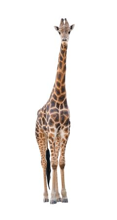 reticulated giraffe: giraffe isolated on white background Stock Photo