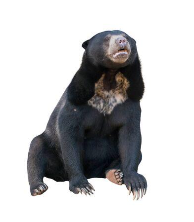 oso negro: sunbear malayo (Helarctos malayanus) aislado en fondo blanco Foto de archivo