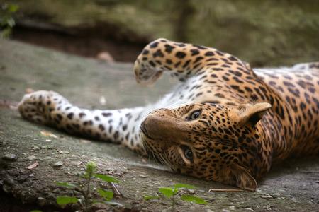 pardus: leopard ( Panthera pardus ) resting on floor