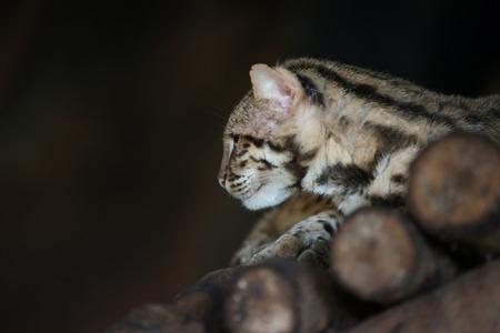 bengalensis: Leopard cat scientific name Prionailuru bengalensis