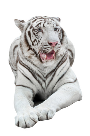 tiger isolated: white bengal tiger isolated on white background