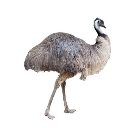 emu bird: an australian emu isolated on white background