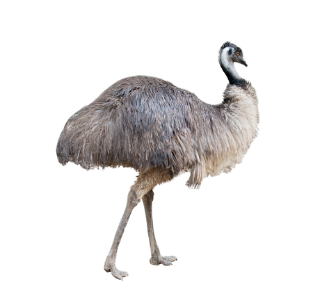 emu: un emú australiano aislado en fondo blanco