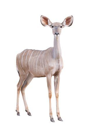 greater: female greater kudu isolated on white background