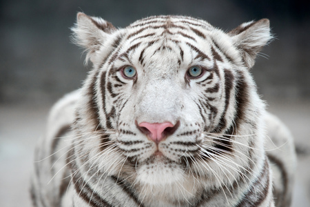 zoologico: tigre de bengala blanco (Panthera tigris) en el entorno en cautividad