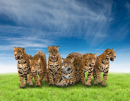 onca: group of jaguar with green grass and blue sky Stock Photo