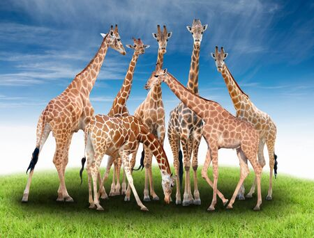 reticulated giraffe: group of giraffe with green grass and blue sky