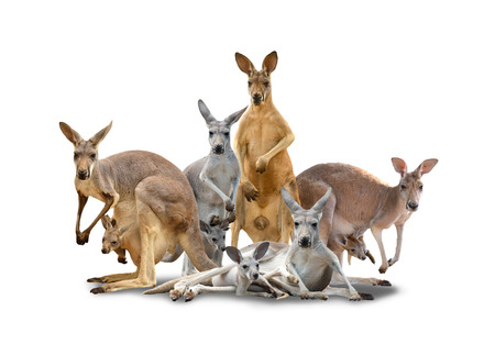 group of kangaroo isolated with shadow on white background