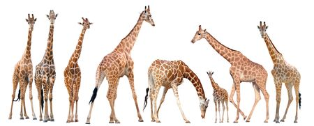 reticulated giraffe: group of giraffe isolated on white background Stock Photo