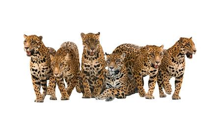 animales de la selva: grupo de jaguar aislado en el fondo blanco