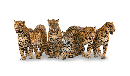 onca: group of jaguar isolated with shadow on white background