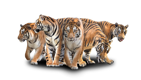 group of bengal tiger with shadow on white background