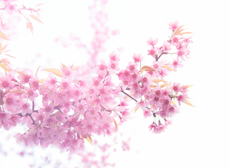 beautiful wild himalayan cherry flower ( Prunus cerasoides ) with flare light