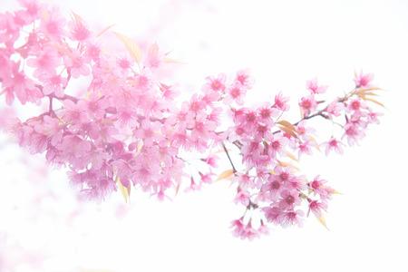 pink skies: beautiful wild himalayan cherry flower ( Prunus cerasoides ) with flare light Stock Photo