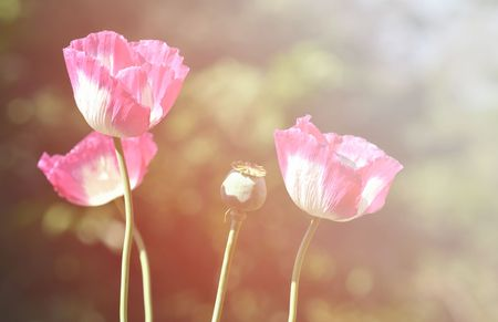 whote: poppy flower with flare light