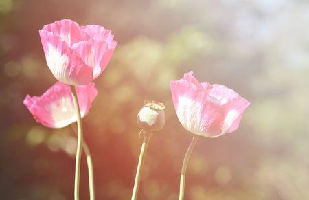 opiate: poppy flower with flare light