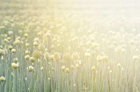 bulb and stem vegetables: Flowering onion field in thailand with flare light