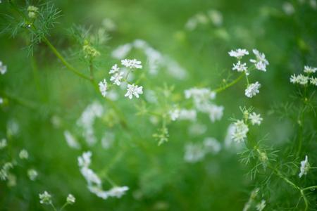 coriandrum sativum: flower of coriander ( Coriandrum sativum )