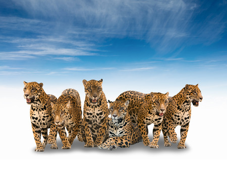 onca: group of jaguar isolated with shadow with blue sky