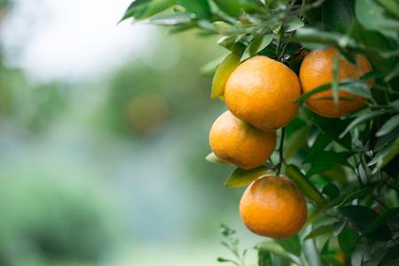 naranja arbol: naranja fresca colgar en el árbol Foto de archivo
