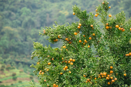 tree farming: fresh orange hang on tree