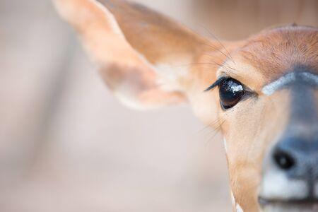 head close up: nyala  (Tragelaphus angasii) head close up