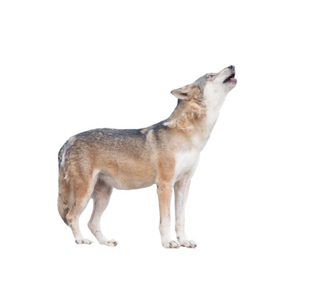 gray wolf howling isolated on white background Foto de archivo