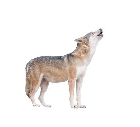 loup gris hurlement isolé sur fond blanc Banque d'images