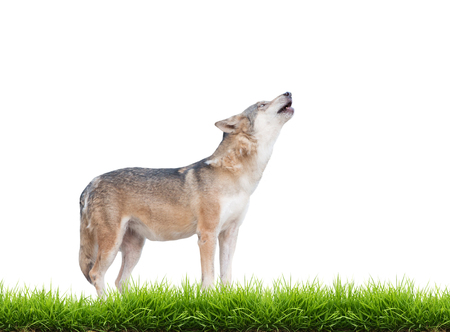 gray wolf black and white: gray wolf howling isolated on white background with green grass
