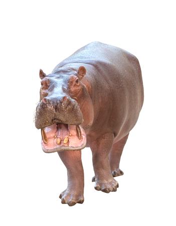 hippopotamus: hipopótamo (Hippopotamus amphibius) aislado en el fondo blanco Foto de archivo