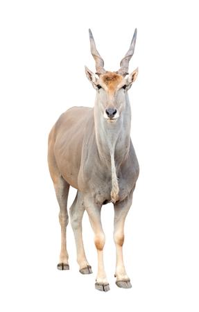 grazer: eland (Taurotragus oryx) isolated on white background