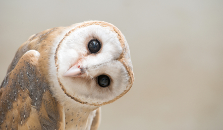 common barn owl ( Tyto albahead ) head close up